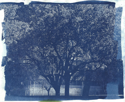 Cyanotype tree|by Cadpigv2