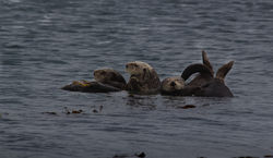 Morro Bay Sea Otters|by Cadpigv2