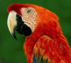 Scarlet Macaw|by Grouchinator