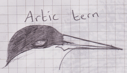 arctic tern|by lonewolfsega
