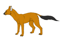 Dhole - Color