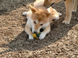 Shiba Inu Playing Toy 01|by underwolf