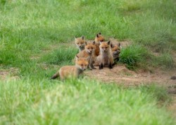 Kit (Or Kaboodal) Of fox cubs|by Riman