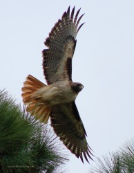 Red Tailed hawk|by Sixthleafclover