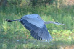 Blue Heron Flight|by Kirek