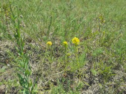 Prarie Yellow|by Reserved Rodent