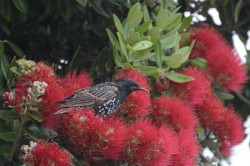 Starling Amongst Flowers|by Kirek