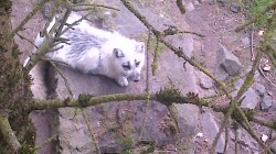 A real life Arctic Fox!!|by Arcticf0x