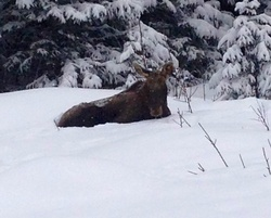 Moose at peace in the snow.|by JA Red Wolf