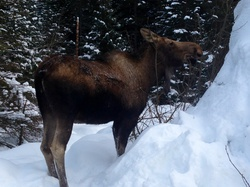 Moose eats twigs...I don't know why! Lol|by JA Red Wolf