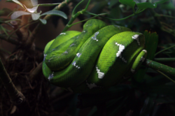 Emerald Tree Boa|by Sonder