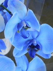 Blue Orchids|by PoeticFox