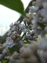 Lilac tree :3|by PoeticFox