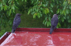 Two Wet Birds|by Toumal
