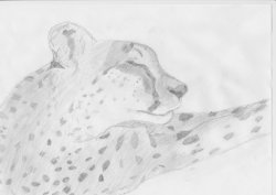Sleepy cheetah|by Cheetahs