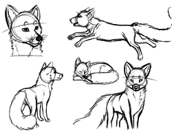 Sketch Practice - Fox|by MintChip