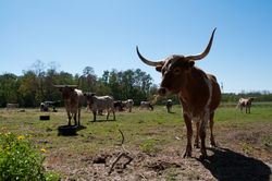 Longhorns|by ShadesShadow