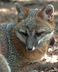 Gray Fox|by SMWolf