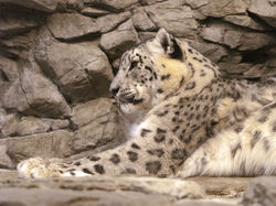 Snow Leopard|by SMWolf