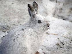 Snowshoe Rabbit - CMNH February 2012|by SMWolf